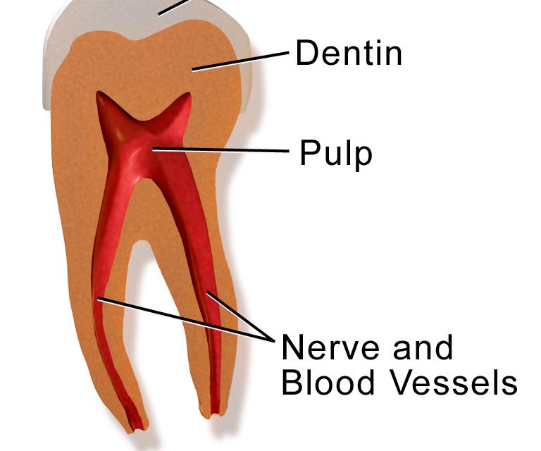Tooth anatomy 1
